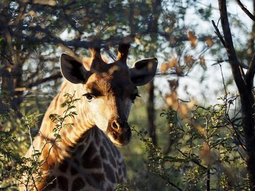 Giraffe in trees