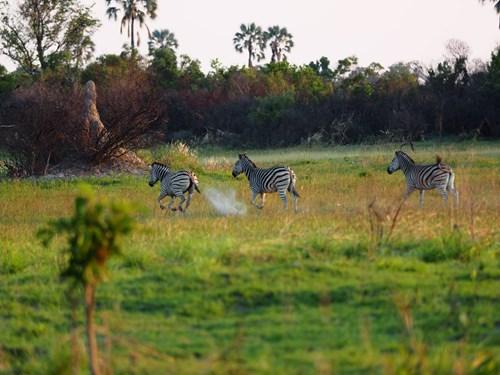 Three zebras running across field